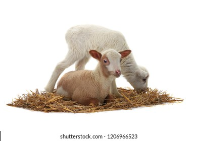 baby sheep on a white background
