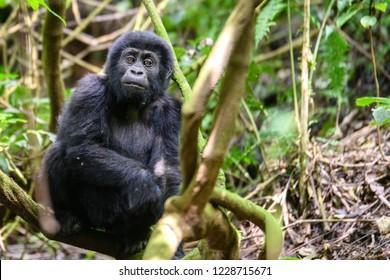 Baby Silverback Gorilla in Uganda