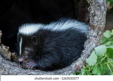 Baby Skunk inside a Hollow Log