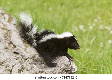 Baby Skunk Sitting on Edge of a Log