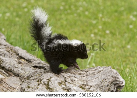 Baby Skunk Tail Stock Photo Edit Now 580152106 Shutterstock