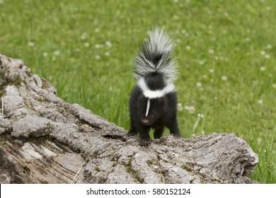 Baby Skunk Walking on a Log