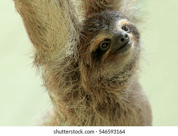 Baby sloth in an animal sanctuary, Costa Rica. The brown-throated sloth (Bradypus variegatus) is a species of three-toed sloth found in the neotropical ecozone.