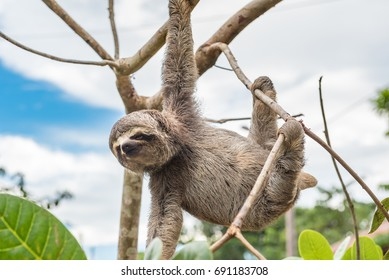 Baby sloth hanging from a tree limb looking at photographer