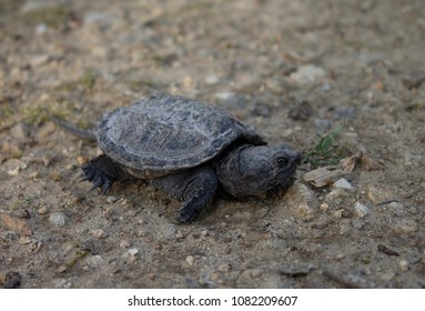 Pink belly Snapping turtle for sale baby pink belly Baby snapping turtle pictures
