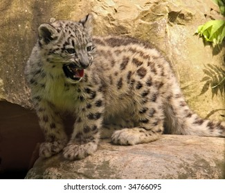 A baby snow leopard (uncia uncia) cries for its mother