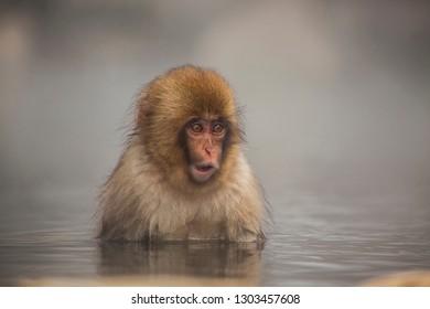 baby snow monkey in jigokudani snow monkey park nagano japan