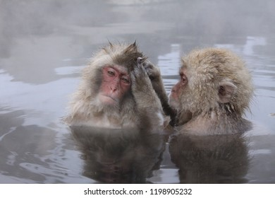 Baby Snow monkey (Macaca fuscata), Jigokudani Monkey Park, Yamanouchi, Nagano Prefecture, Japan. Japanese macaque, Old World monkey