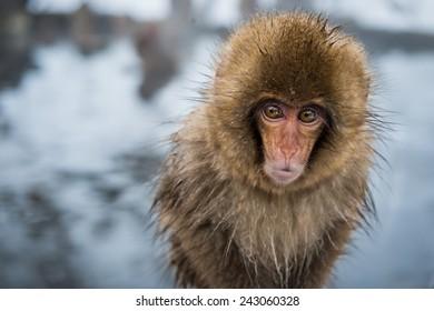 A baby snow monkey (macaca fuscata) at Jigokudani Monkey Park in Japan.