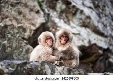 baby snow monkeys sit and cuddle on mountain to prevent cold weather at Jigokudani Park, Yamanouchi, Nagano, Japan. Famous travel destination to see wild animal during winter season.