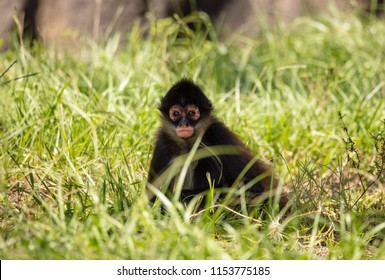 baby spider monkey has spotted you