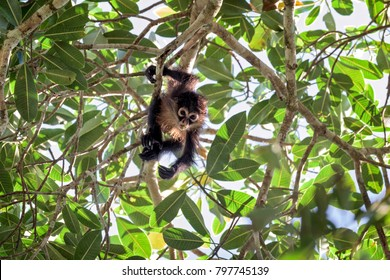 Baby spider monkey in a tree top in Costa Rica.