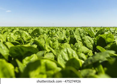 Baby spinach in the field