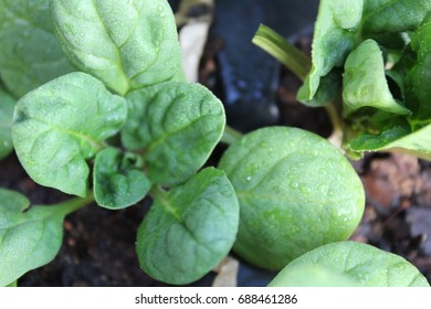 Baby Spinach in Seedling Tray