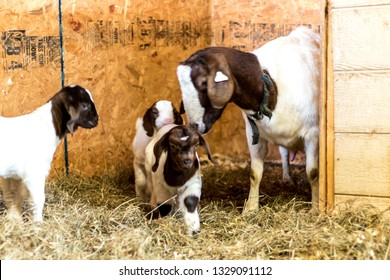 Baby Spotted Boer Goat with Lop Ears in barn with mother