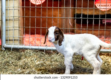 Baby Spotted Boer Goat with Lop Ears in barn