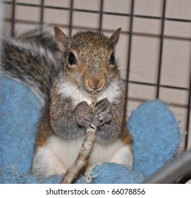 Baby Squirrel Chewing on Twig