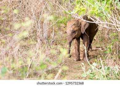 A Baby Sri Lankan Elephant (Elephas maximus maximus) in the dense shrubs of Udawalawe National Park of Sri Lanka during the hot midday Sun, as the rest of the herd grazes nearby.