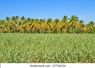 Baby sugar cane farmland and coconuts on blue sky background