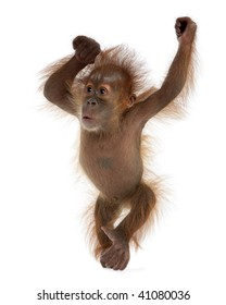Baby Sumatran Orangutan, 4 months old, standing in front of white background