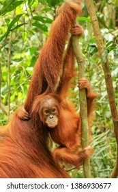 Baby Sumatran orangutan next to its mother n Gunung Leuser National Park, Sumatra, Indonesia. Sumatran orangutan is endemic to the north of Sumatra and is critically endangered.