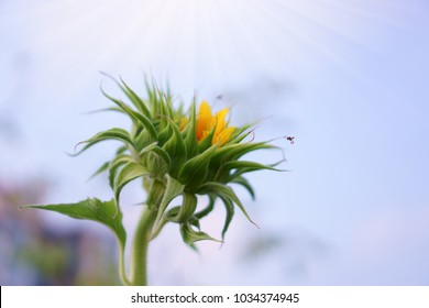 A baby Sunflower and a bee is taking sweet nectar under cloudy blue sky background