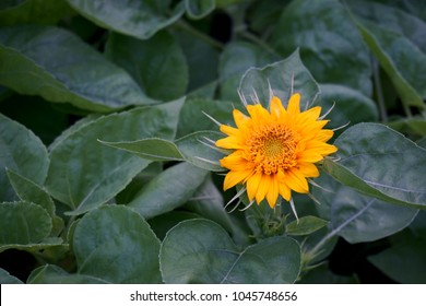 A baby Sunflower is blooming on evergreen leaves background