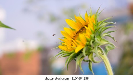 A baby Sunflower and a little bee is taking sweet nectar under cloudy blue sky background