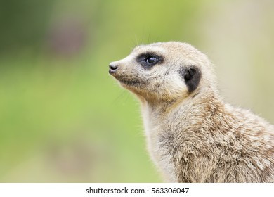 Baby Suricate or meerkat (Suricata suricatta) It is on guard and looks around and patrolling the neighborhood