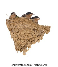 Baby swallow birds in nest on white.
