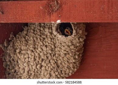 Baby swallow peeking out of a natural mud nest under the eaves