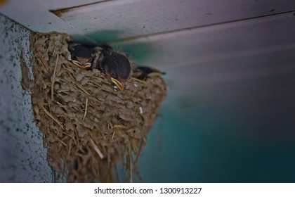 Baby swallows in the nest.