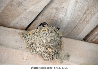 Baby swallows in the nest