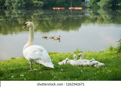 baby swan cygnets in the grass with their family