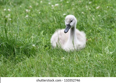 baby swan sitting in grass
