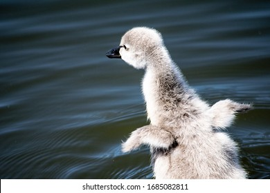Baby swan with wings outstretched in water