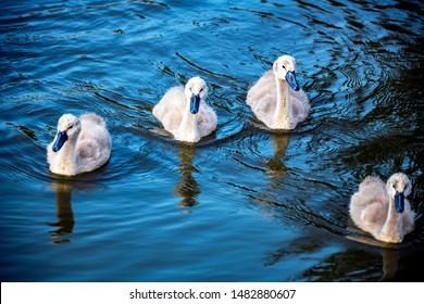 Baby swans - Cygnets at The Hamptons Nature Reserve, Worcester Park, London, England