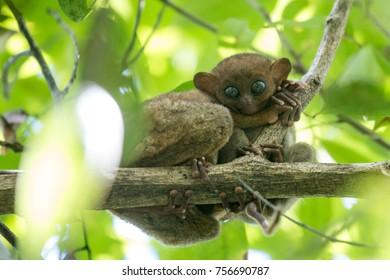 Baby tarsier with mum, Bohol Island, Philippines