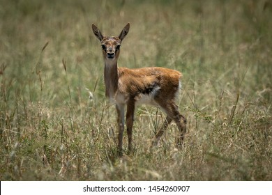 Baby Thomson gazelle in grass eyeing camera