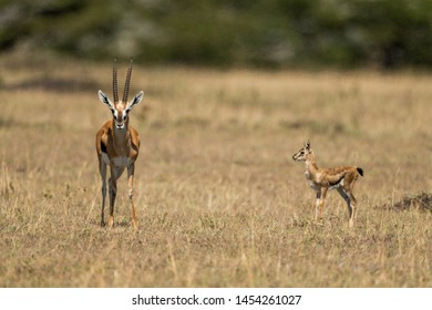 Baby Thomson gazelle watches mother eyeing camera
