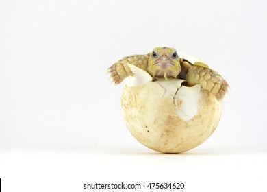 Baby Tortoise Hatching (Africa spurred tortoise),Birth of new life