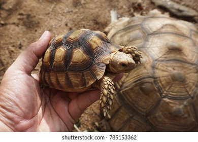 Baby Tortoise on the hands of man (African spurred tortoise ),Cute portrait of baby tortoise ,Geochelone sulcata