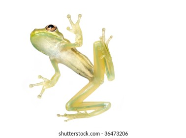 Baby tree frog from underneath isolated on a white background in studio