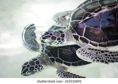 Baby turtle being fostered in a pool prior to release to the nature. Cancun, Mexico.