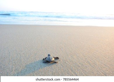 Baby turtle doing her first steps to the ocean. This is the beach of Playa Azul, in Lazaro Cardenas, Mexico