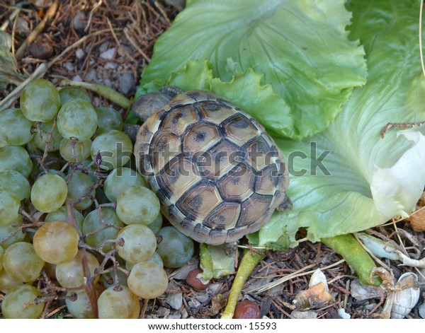 baby turtle eating green salad and grapes