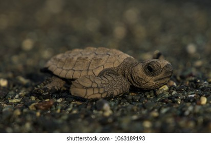 Baby turtle finding its way to the ocan