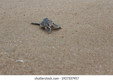 the baby turtle is heading to the ocean