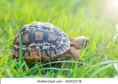 baby turtle walking on grass.