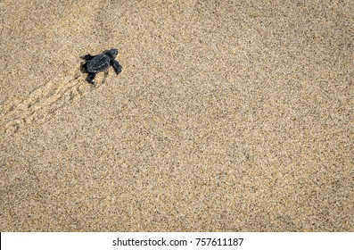 Baby Turtles being released on the beach in Puerto Escondido Oaxaca Mexico